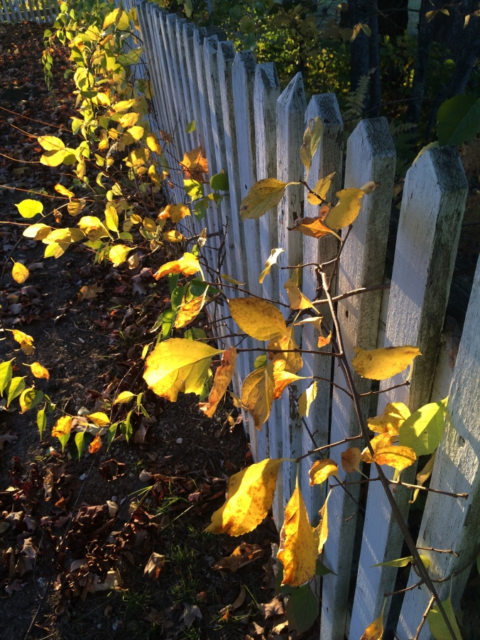 Vines and Picket Fences. Photo by Colleen Ann.