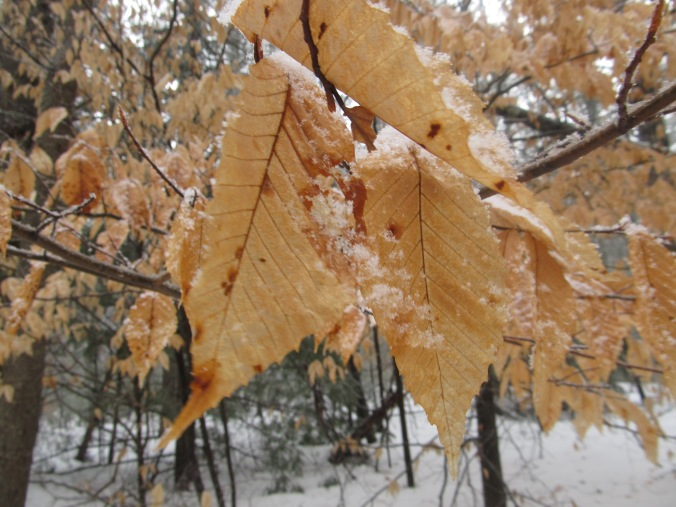 Beech Leaves. Photo  By Colleen Ann.