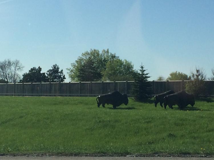 Buffalo. Photo By Colleen Ann.