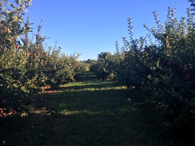 Endless Orchard. Hollis NH. Photo By Colleen Ann.